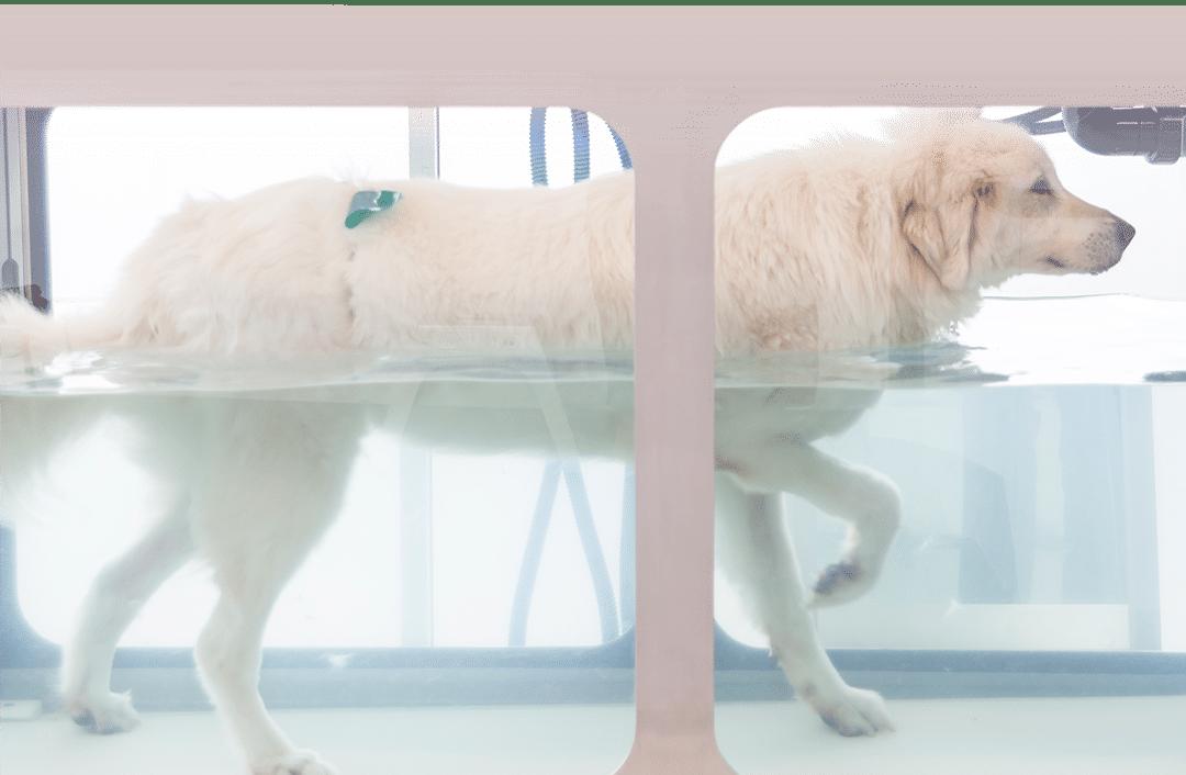 Dog Using Hydrotherapy Treadmill